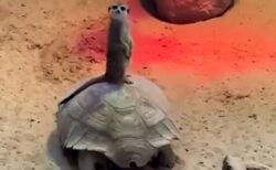 【動画】亀の背中に乗って移動するミーアキャットが話題に「すごいカメラ目線w」