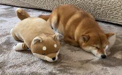 【ぺちょん】ぬいぐるみの隣で眠る柴犬が話題に「たまらんw」