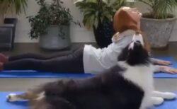 【動画】全犬種で最高知能のボーダーコリー。一緒にヨガを楽しむ様子が素敵すぎw