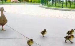 【動画】ディズニーランドでカモ一家が大移動。可愛いすぎるw