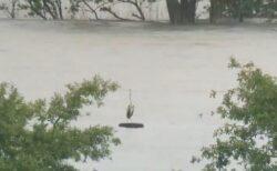 【どんぶらこ】増水した川を流れるタイヤの上に佇むアオサギが話題に