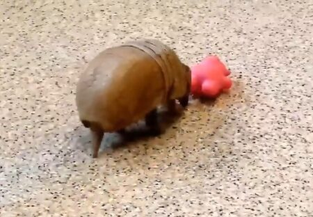 おもちゃで遊ぶアルマジロの赤ちゃんが話題に「初めて見た」「めちゃ可愛い!」