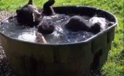 【動画】クマがお風呂を楽しむ様子が話題に「脚の動きカワイイw」