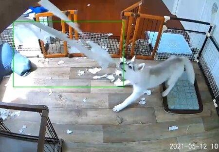 【動画】ハスキーの子犬、カーテン破りに夢中な様子を留守番カメラがばっちり中継w