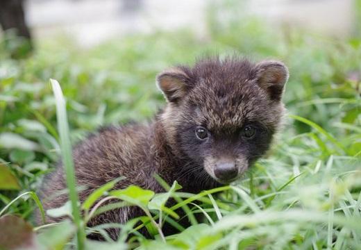 【注意】子犬っぽいけどタヌキの赤ちゃん!5月から6月排水溝にいる子だぬきを発見したら・・