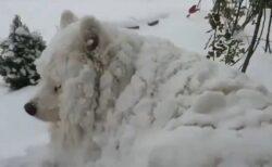 【w】シベリア出身の大型犬、雪に埋もれてる真っ白いモフモフ姿が可愛いすぎるw