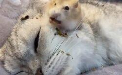 【バリバリバリバリ】猫の上で食べまくるハムスターが話題に「ねこ迷惑そうw」