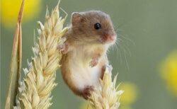 【ちっさ】日本一小さいネズミ。穂の先でちょこんとしてる姿が話題に