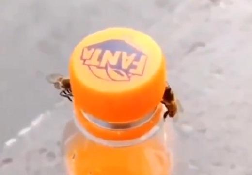 【感動】2匹の蜂、協力してファンタオレンジの蓋を開けてしまう