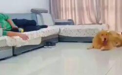 【えっw】飼い主と添い寝する小型犬に嫉妬したゴールデンの行動、斜め上以上だったw