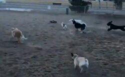 【w】ドッグランにラジコンカーが侵入したら・・犬達が大歓喜ですごいことにw
