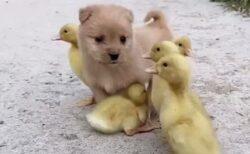 【w】ひよこ達のお世話をする子犬が話題に「お母さんになってる!」