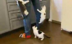 【動画】ごはんが待ちきれない子猫兄弟、脚のよじ登りが凄すぎるw