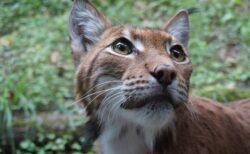 【猛獣】オオヤマネコ属最大種のオオヤマネコ、仕草が完全に愛らしい猫w