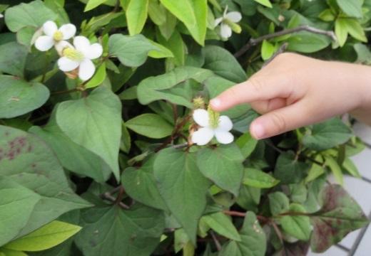 【目からうろこ】ドクダミの花を漬け込むだけ!おばあちゃん直伝の超効くかゆみ止めが話題に