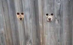 【爆笑】6つの穴から外を覗く犬達が大反響「声出たw」
