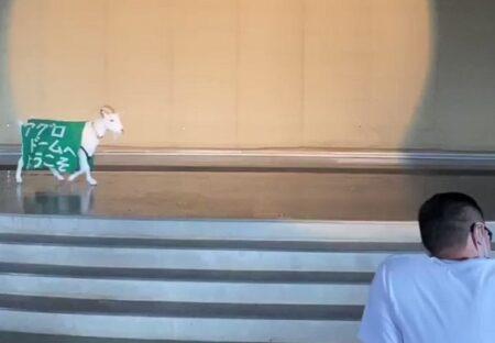 【トコトコトコ】ショー開始を知らせるヤギ子ちゃん。愛しすぎる動画が話題に「ずっと見てるw」