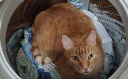 【ちょこん】「猫がいない!」大騒ぎで探すと洗濯機で発見される猫達が話題にw