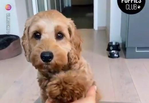 【ぴとっ】お手の後に可愛いすぎる事する犬が話題にw