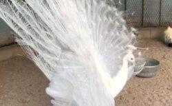 【スサノオ神社】大きく羽根を広げた純白のクジャクが話題に「優雅」「神のつかいだ」