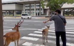【w】赤信号、車の切れ目を狙い横断歩道を上手に渡っていく鹿が話題に