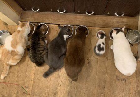 大勢の兄弟がいなくなり食事ができなくなった子猫。大人の間にはいったら食べ始める