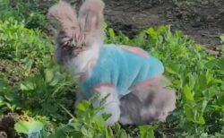 【動画】ぬいぐるみみたいなウサギ!仕草もふわふわさも超カワイイw