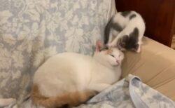 【動画】上から頭に降りてきて踏みつけまくって眠ってしまう子猫が話題にw