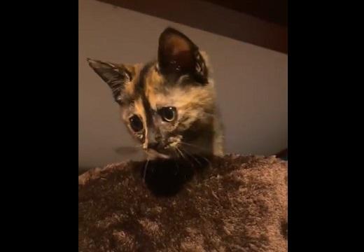 (´・ω・`) 登って降りれなくなり助けを求める子猫、表情も声もたまらなく可愛い