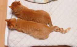 【しっぽ!】絶対に離れたくない双子の猫が話題にw