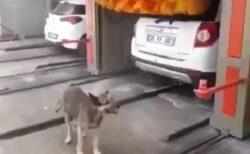 【笑】洗車機前でスタンバってる笑顔の犬、運転が始まると驚きの行動にw