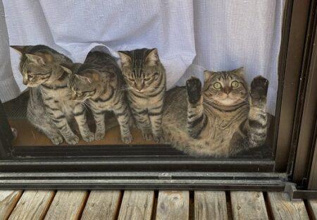 【爆笑】窓辺で飼い主を待つ猫4匹、1匹だけおかしいw