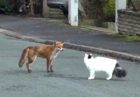 【異種間】道で出会ったキツネと猫、一緒に遊び始める様子が話題に