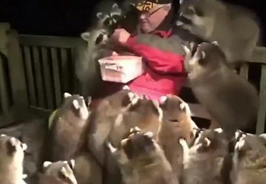【w】おじいさんにご飯をもらいにくるアライグマ集団が話題に「肩の子カワイイw」