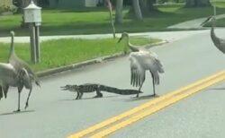 【動画】車道でもたもたしてるワニをおいたてる3羽の大きな鳥が話題に