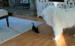 【白と黒】もふもふな大型犬と小さな子猫のやり取りが話題に「可愛い過ぎるw」