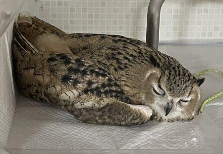 【スヤァ】横になって爆睡するフクロウ、野生を完全に忘れた姿が話題にw