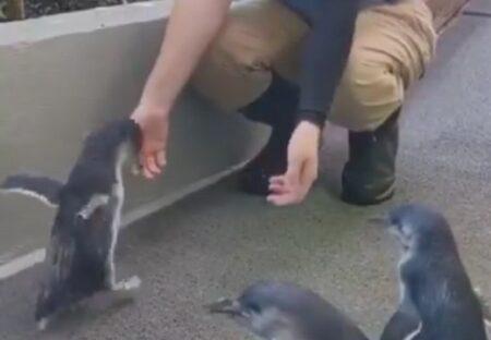 【動画】大好きな飼育員さんに喜ぶペンギンが話題に「こんなふうになつくんだw」