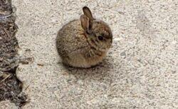 【ころん】まんまるすぎる子ウサギがめちゃくちゃ可愛いw