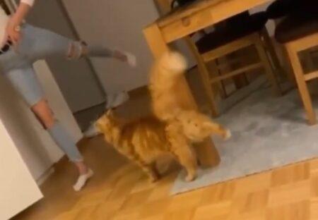 【ぴょこ】ご主人のヨガを真似する猫が話題にw「たまらん」