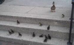 【泣いた】ひよこ達の階段登り。最後の子まで見守る母鳥と兄弟達が話題に