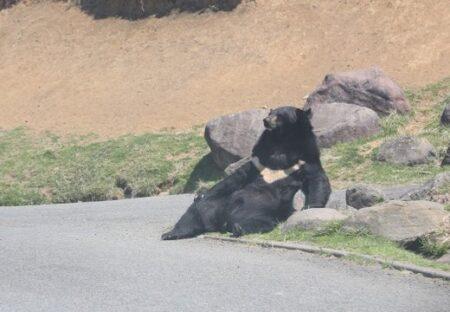 【・(ェ)・】路肩でだらけきったクマが激写され話題に「自分を見てるみたいw」