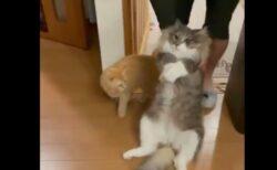 【ズルズル】寝る部屋へされるがまま引きずられる7キロのネコと、野次馬ねこが話題にw