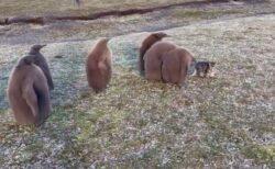 【笑】猫に興味津々!ペンギンの赤ちゃん集団が話題に「もふもふがいっぱい!」