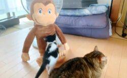 【ちょこん】おもむろに近づき、ジョージの膝の上に座る子猫が話題にw