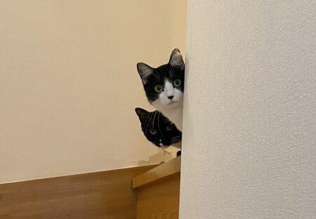【w】藤あや子さんちの保護猫くん達、お客さんへの反応3連写がカワイイすぎる