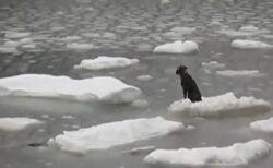 【泣いた】流氷に取り残された犬、無事救助されるまでの一部始終が話題に