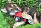 【たまらん】寄り添って眠る秋田犬の赤ちゃん、寝言が可愛いすぎるw