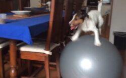 【爆笑】運動能力が高すぎる犬、バランスボールを乗りこなし机のおやつを狙うw
