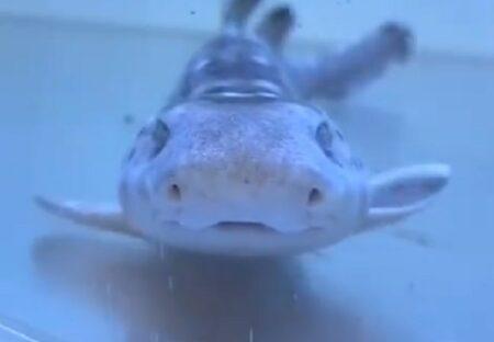 【パタパタパタパタ】動きが可愛い笑顔のサメが話題に「変な声が出たw」